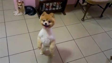 boo haircut pomeranian louis pomeranian stylizacja doggie pl boo teddy haircut