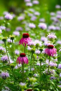 top ten medicinal herbs for the garden echinacea purpurea growing with wild bergamot blog castanea