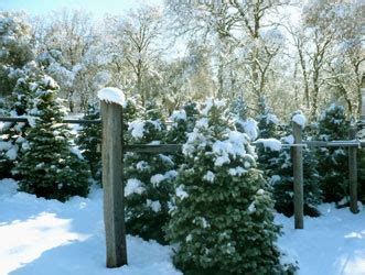christmas tree farms in sacramento best tree cutting experiences near sacramento 171 cbs sacramento