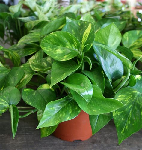pothos and peace fruit basket flowerland