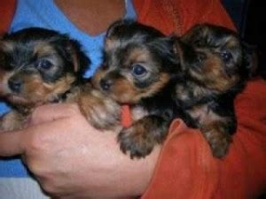 free puppies in reno pets reno nv free classified ads