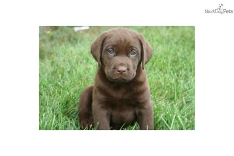 chocolate lab puppies for sale in indiana labrador retriever puppy for sale near lafayette west lafayette indiana 855a7f07 a481