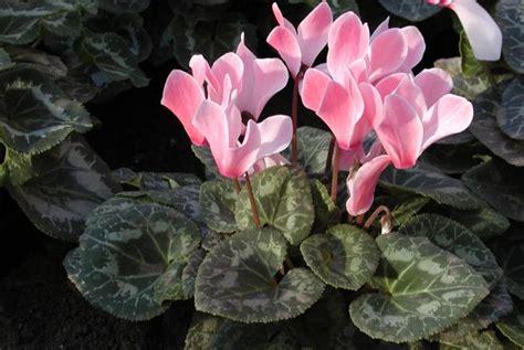 Indoor Flowering Plants cyclamen space for life