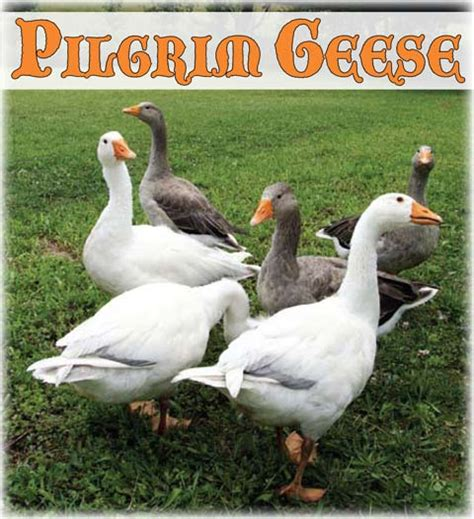 backyard geese pilgrim geese a breed overview from backyard poultry