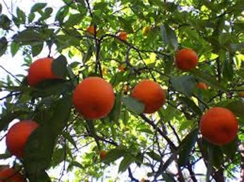 patio orange tree orange trees www imgkid the image kid has it
