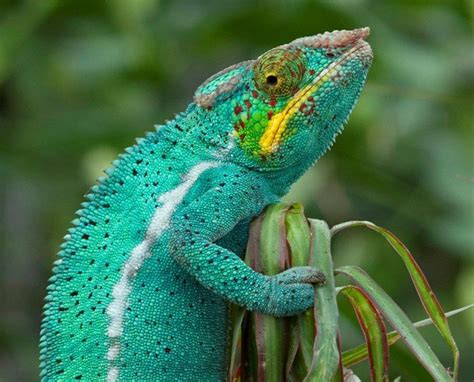 Cd Paket B Chameleons 84 best images about rainforest animal lessons on types of poisoning