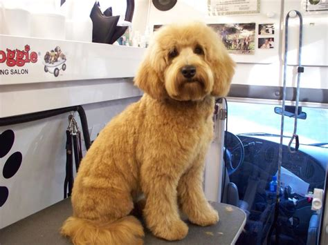 labradoodle puppy cut summer haircuts for labradoodles newhairstylesformen2014