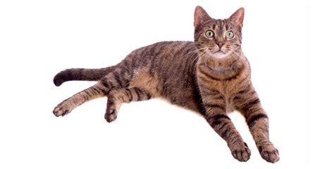 gato pelo corto gato europeo de pelo corto portal iper 250