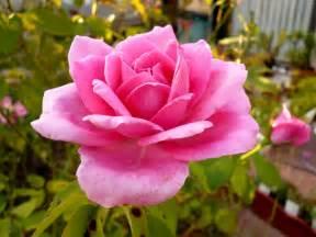 Rose Flowering Plant - wild petunia lantana camara amp pink rose plants amp flowers wallpapers 2 wallpaper world