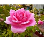 Wild Petunia Lantana Camara &amp Pink Rose  Plants Flowers Wallpapers