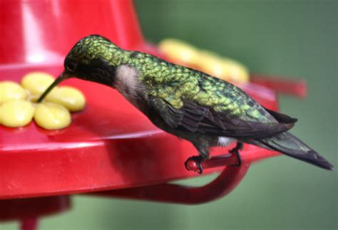 how to make hummingbird food ratio is the key