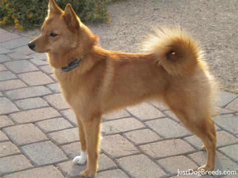spitz dogs spitz breeds