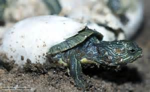 Platypus eggs hatching video red eared turtle hatching out