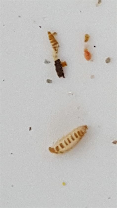 bed bug larva carpet beetle larvae shed skin floor matttroy