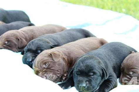 american lab puppies for sale in michigan akc chion lab puppies black chocolate 1 week for sale in