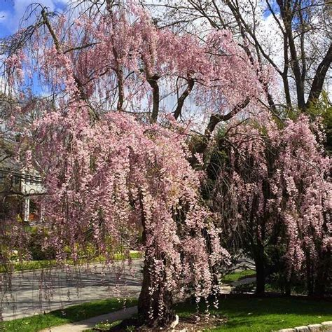 9 cherry tree gardening and gardens flowering trees