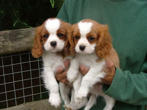 cavalier king charles spaniel puppies price buy sell king charles spaniel puppies adopt puppy in india pets world