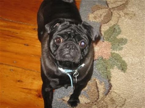 ny pug rescue pug rescue new york nyc ny ma ct nj ri adoption new pugs for adoption