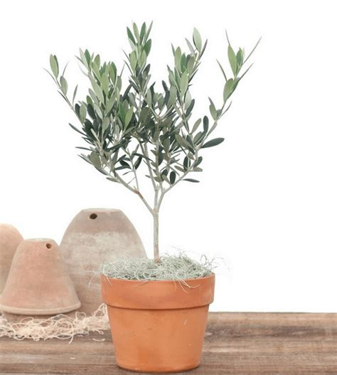 4 5 lb olive tree topiary tree live olive topiary plants