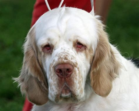 ectropion in dogs clumber spaniel history