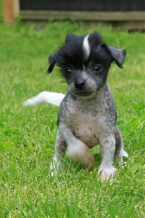sooner puppies beau sooner puppy pictures