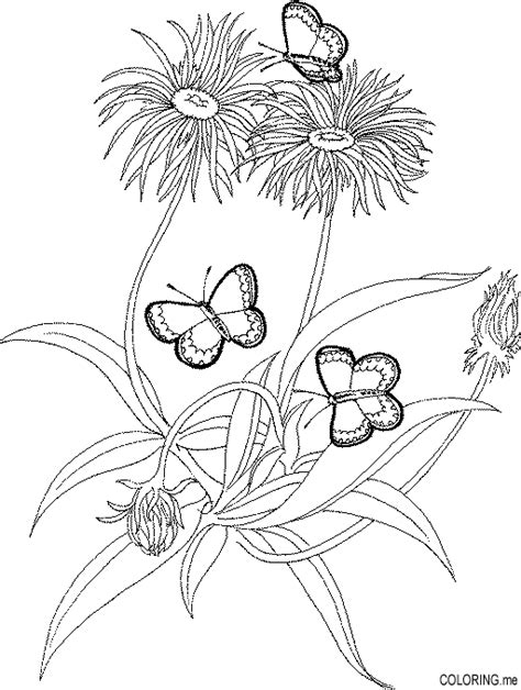 coloring page butterfly on dandelion coloring me