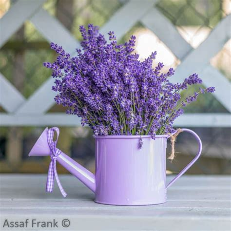 when is lavender in season in michigan assaf frank caption watering can with lavender