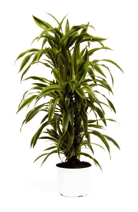 how much light does a lemon tree need dracaena deremensis lemon lime plants