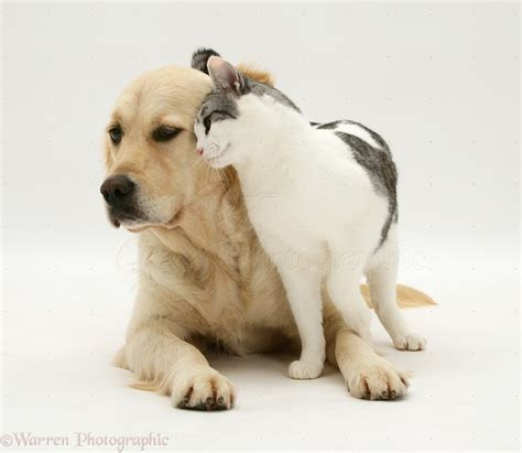 cat and golden retriever pets cat golden retriever photo wp12205