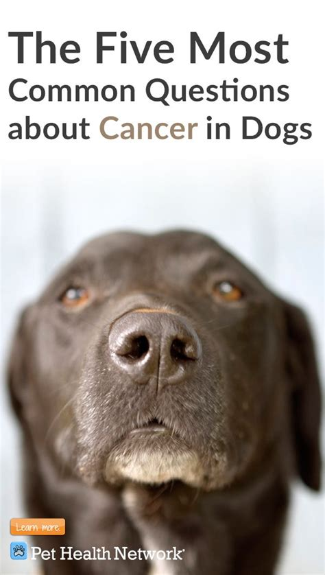 when to euthanize a with hemangiosarcoma the 25 best cancer ideas on owners lymphoma in dogs and human