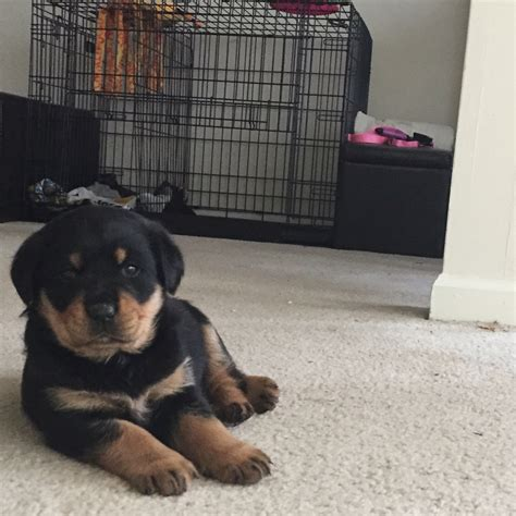 rottweiler puppies for sale nc rottweiler puppies for sale greensboro nc 179868
