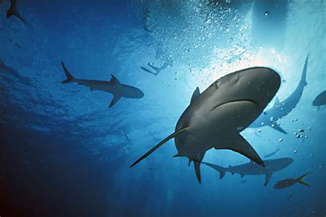 Gigi Ikan Hiu Gergaji 250 Fakta Di Dunia Elitha Eri Net