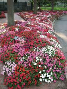 impatiens flowers impatiens flower specs pictures information flowers gallery
