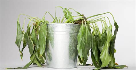 how to save a dying plant how you can rescue a dying pot plant the new daily