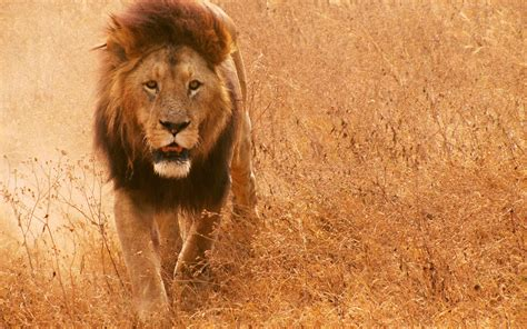 google images lion wallpapers african lion wallpapers