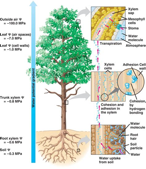xylem carbohydrates biology pictures water transport in plants