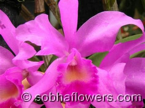 orchid facts cattleya facts sobha orchids