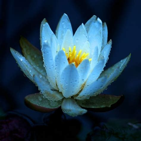 lotus flower to buy popular lotus flower color buy cheap lotus flower color