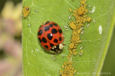 do aphids bite ladybug spider www pixshark images