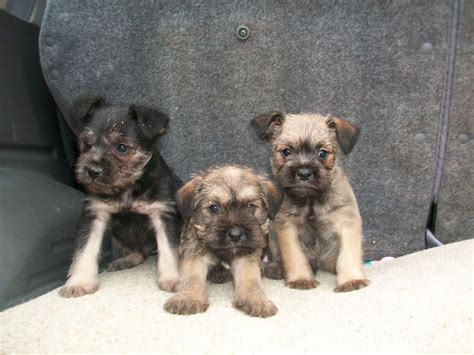 schnauzer pug puppies schnauzer cross pug puppies neath neath port talbot pets4homes