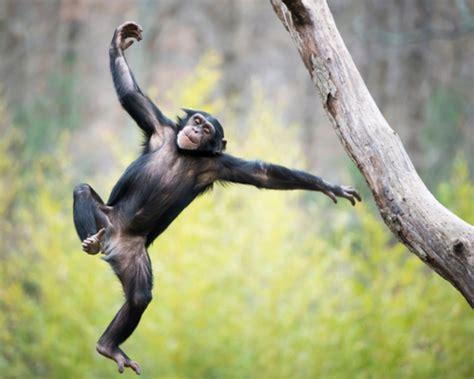 animals that swing from trees tout savoir sur le chimpanz 233