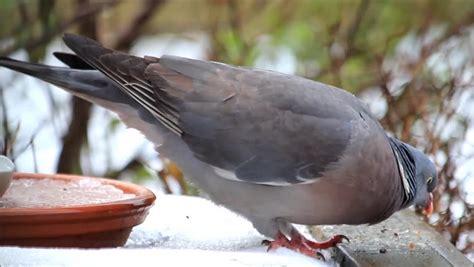 wood pigeon big dove feeding bird food wood pigeon big