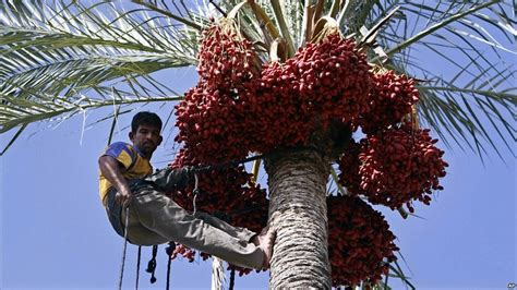 palm tree fruit name news day in pictures
