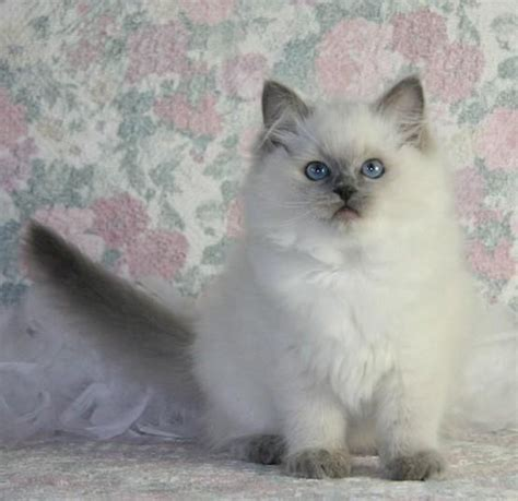 rag doll you re gonna die 261 best images about ragdoll cats on