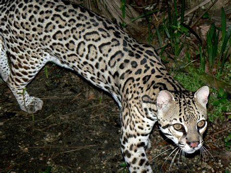 Karet Filter Tiger picture 7 of 9 ocelot leopardus pardalis pictures