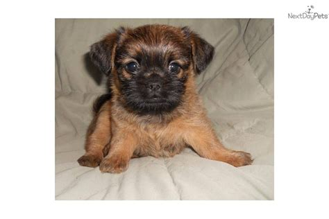shiffon puppies meet samson a brussels griffon puppy for sale for 350 shiffon boy