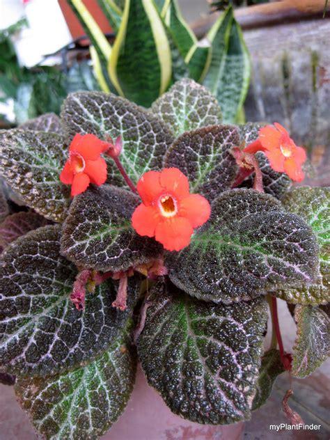 plant finder plant guide episcia cupreata
