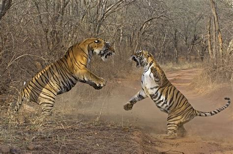 tigers waiting to be tamed how i fought my way out of vancouver books ranthambore fort great cats of the quot world quot