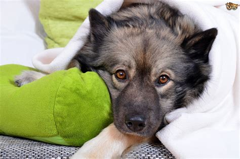 fever in dogs tularemia or rabbit fever in dogs pets4homes