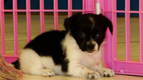 pugs for sale in atlanta ga pomchi puppies for sale in atlanta ga at atlanta columbus johns creek